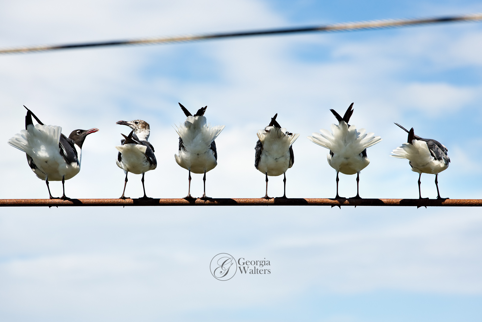 Seagulls waiting on a guide wire, arguing.