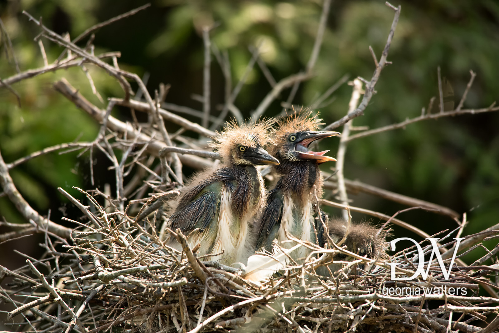 Tri-colored heron chicks call for mom.