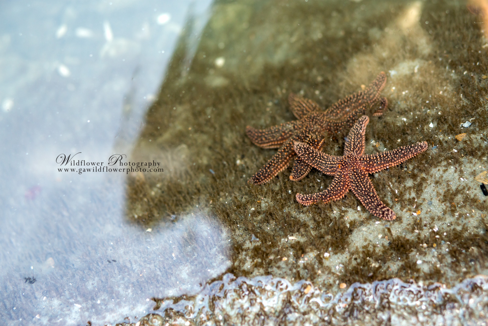 Two starfish in a tide pool on Tybee Island.