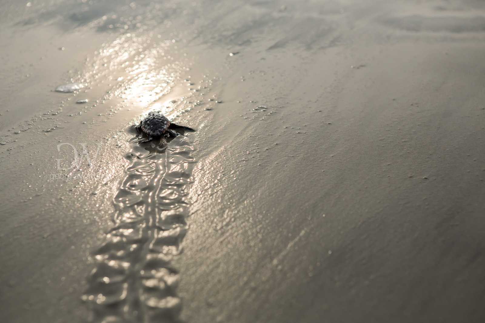 A sea turtle hatchling races for the ocean waves on Wassaw Island, GA.