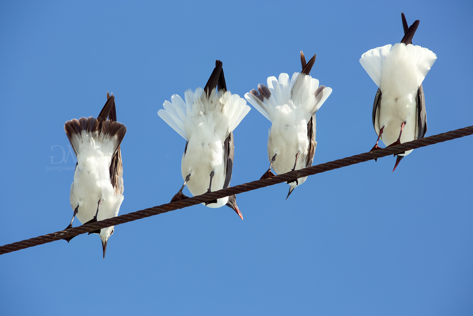 Seagulls on a guide wire.
