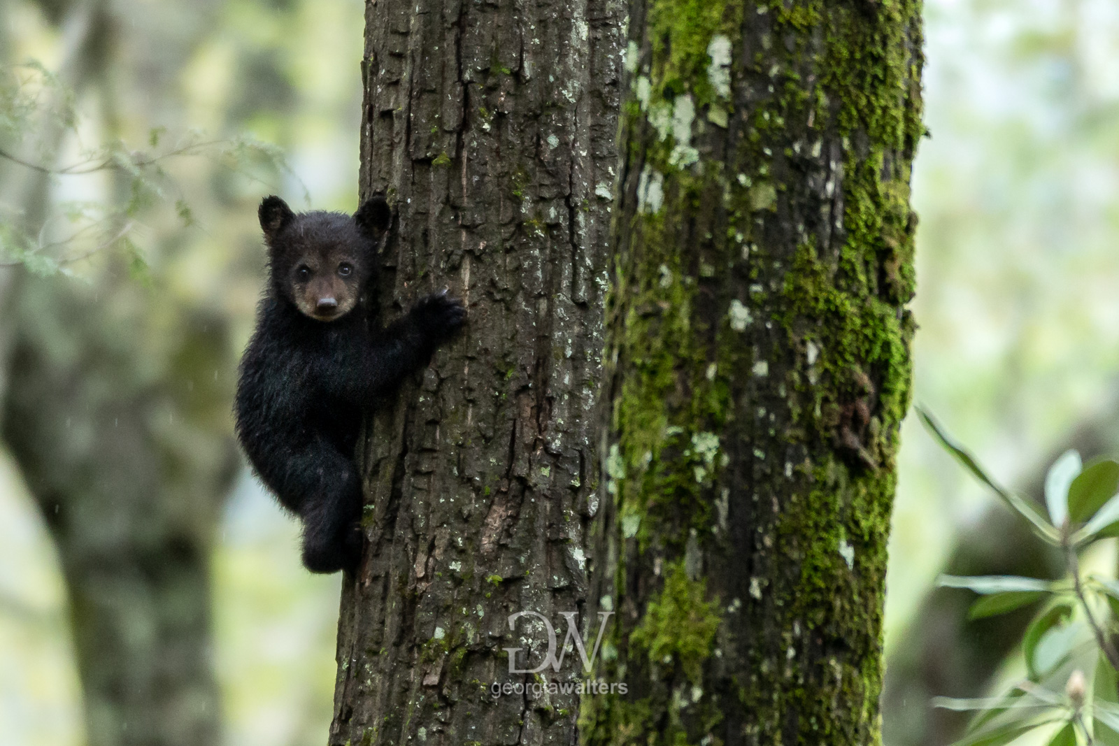 Black bear cub climbing up the side of a tree.