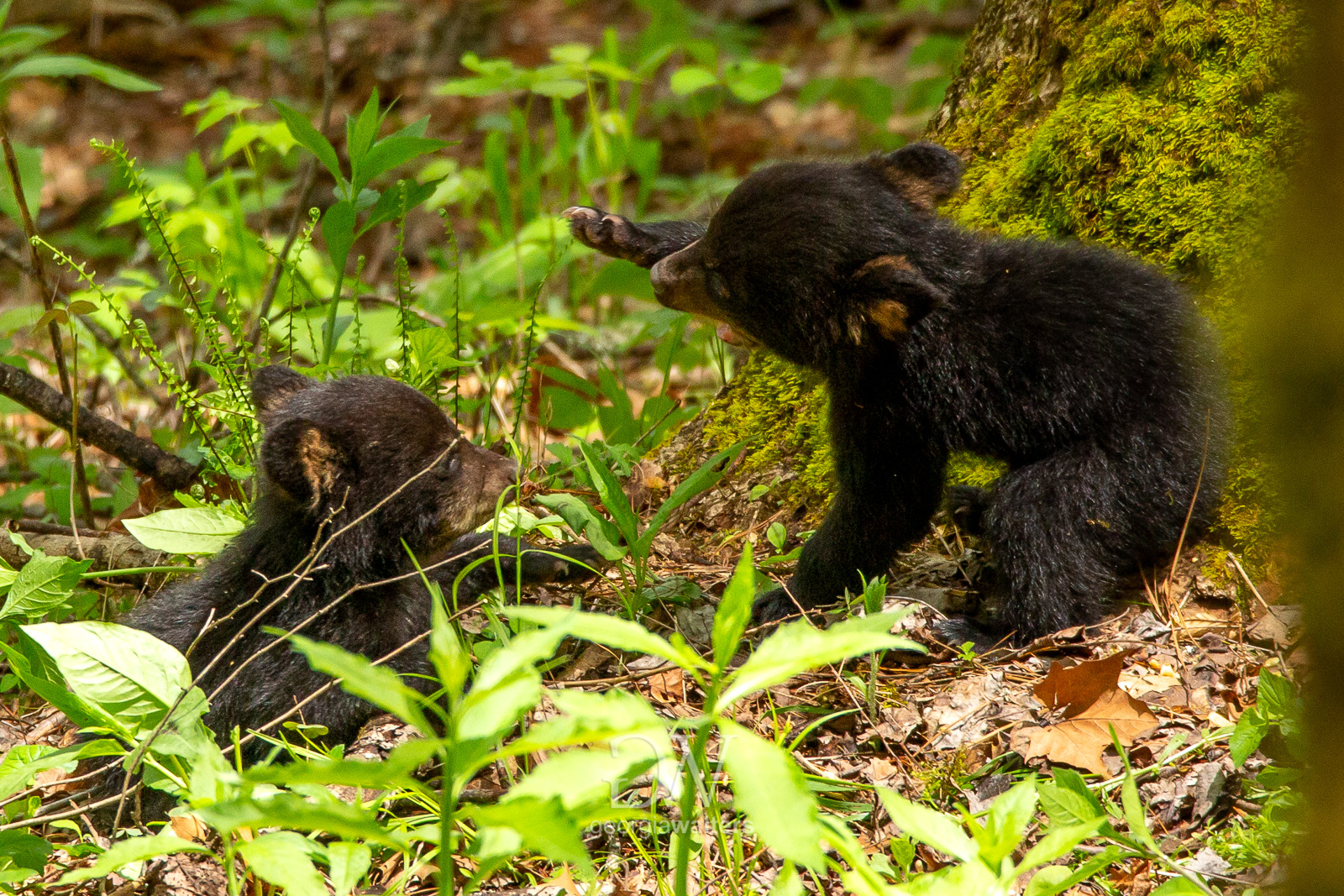 Two black bear cubs play.