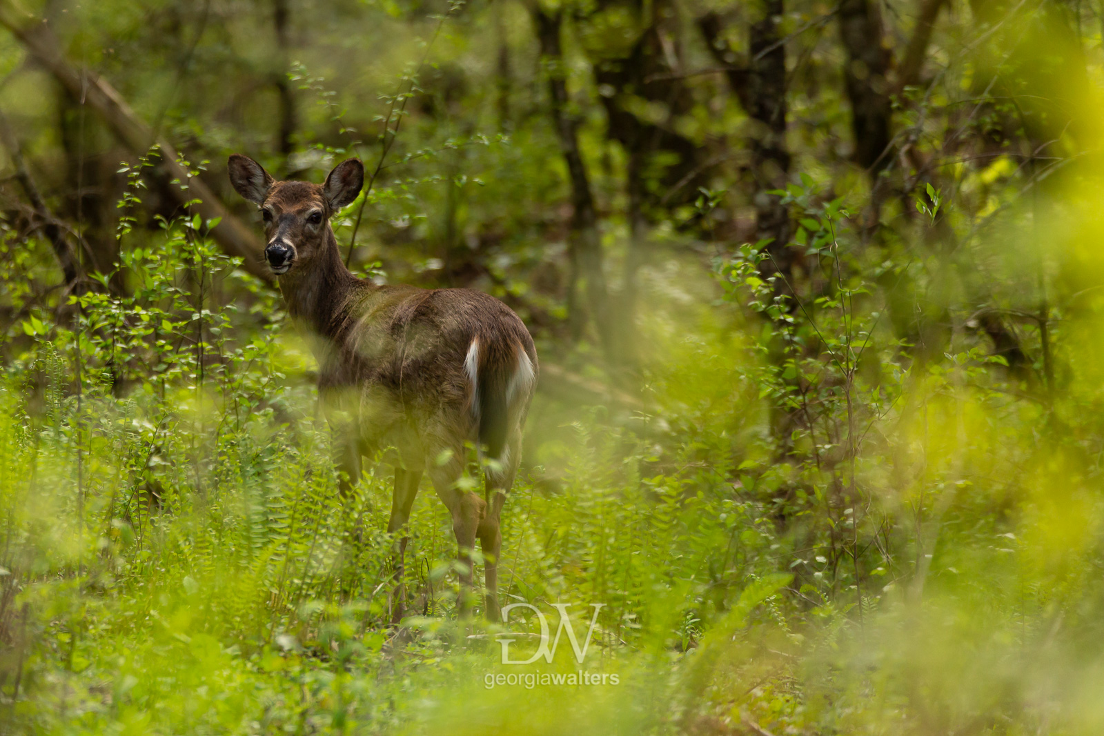 Print of doe standing in tall grass at the Smoky Mountains.