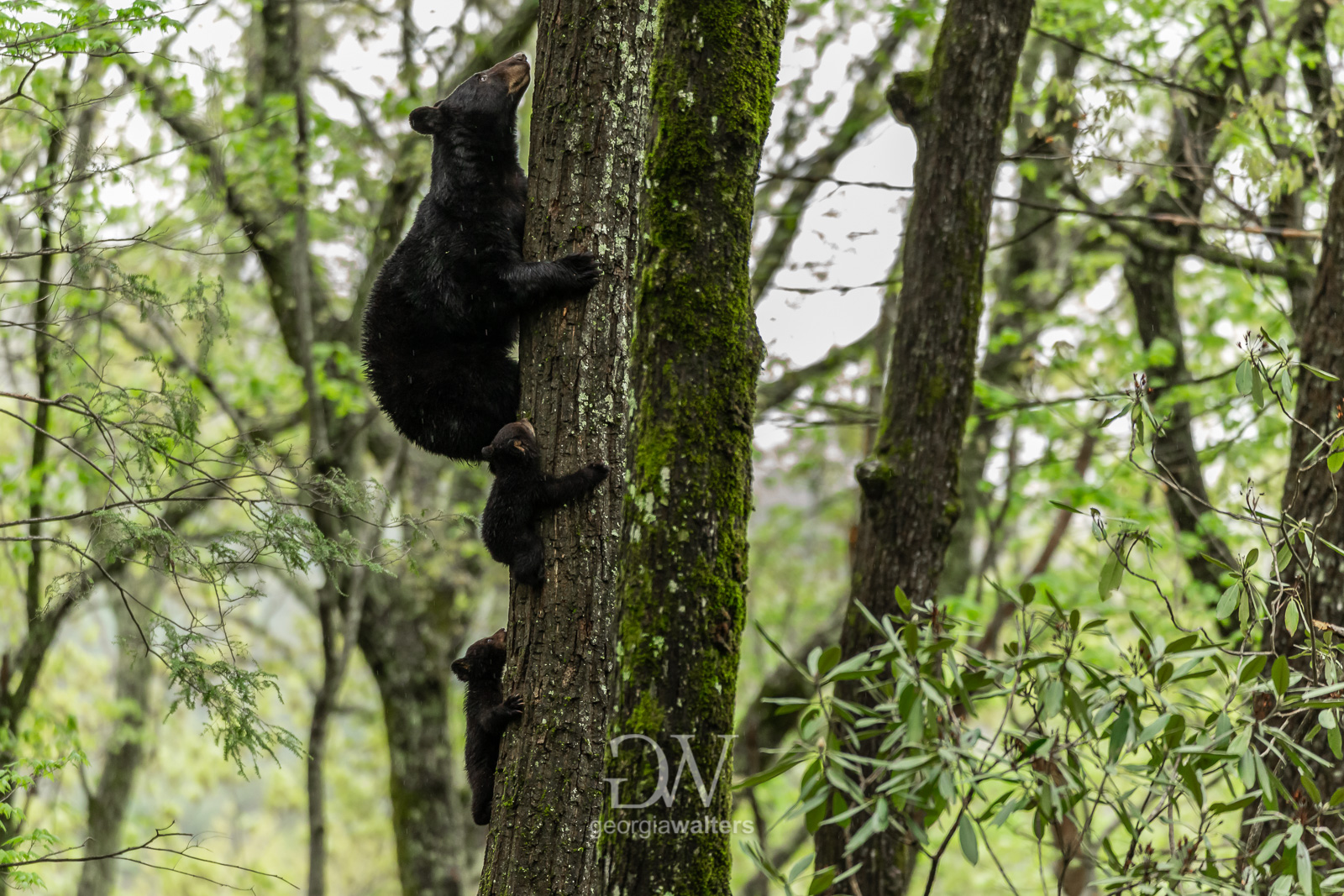 A mother black bear teaches two cubs how to climb a tree.