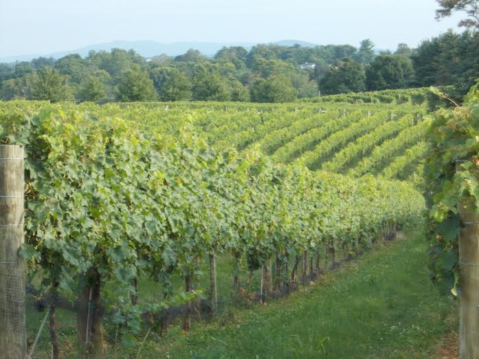 (Cool Ridge Vineyard in the foothills of South Mountain.Washington County, Maryland)
