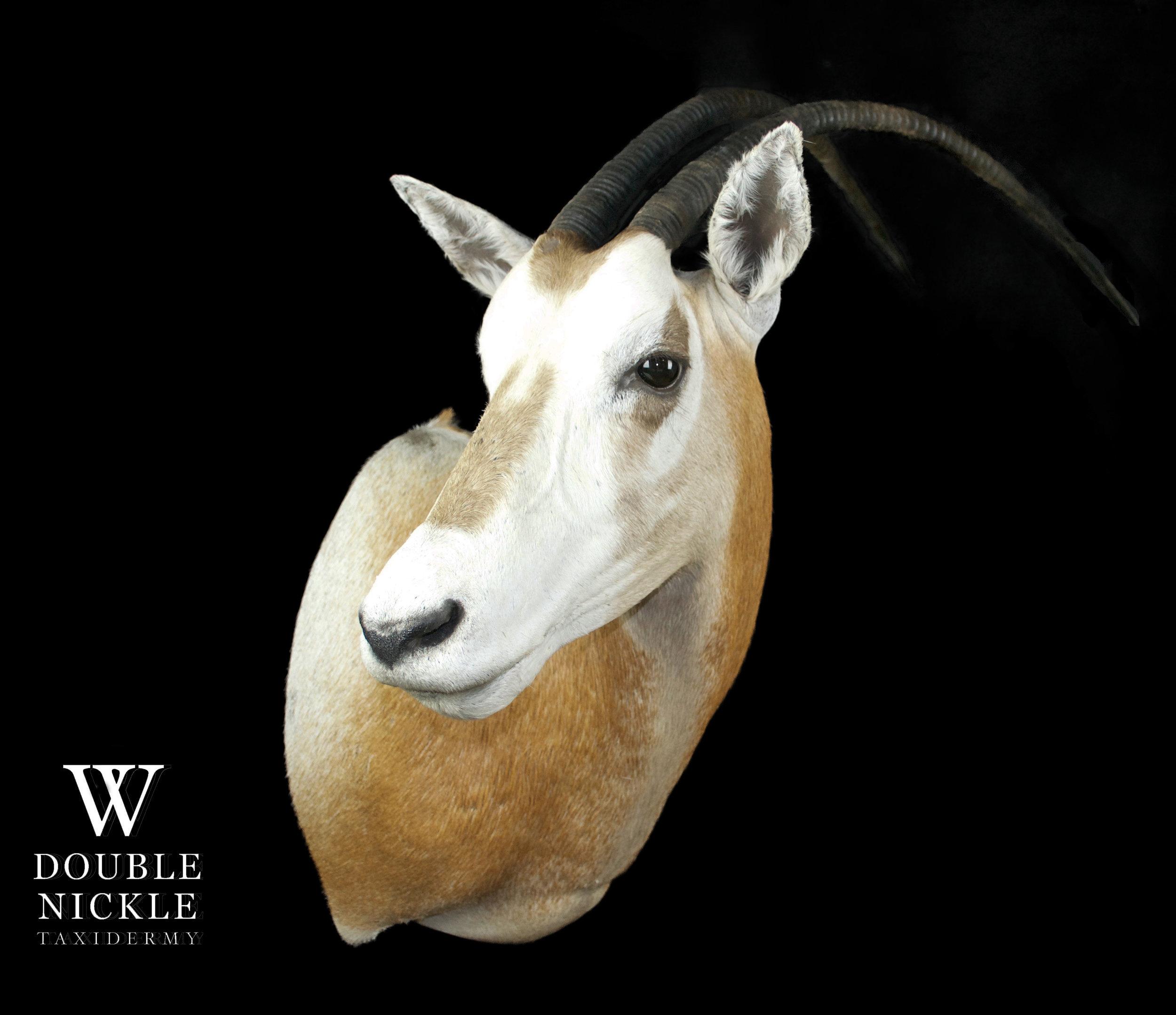 oryx2.jpg