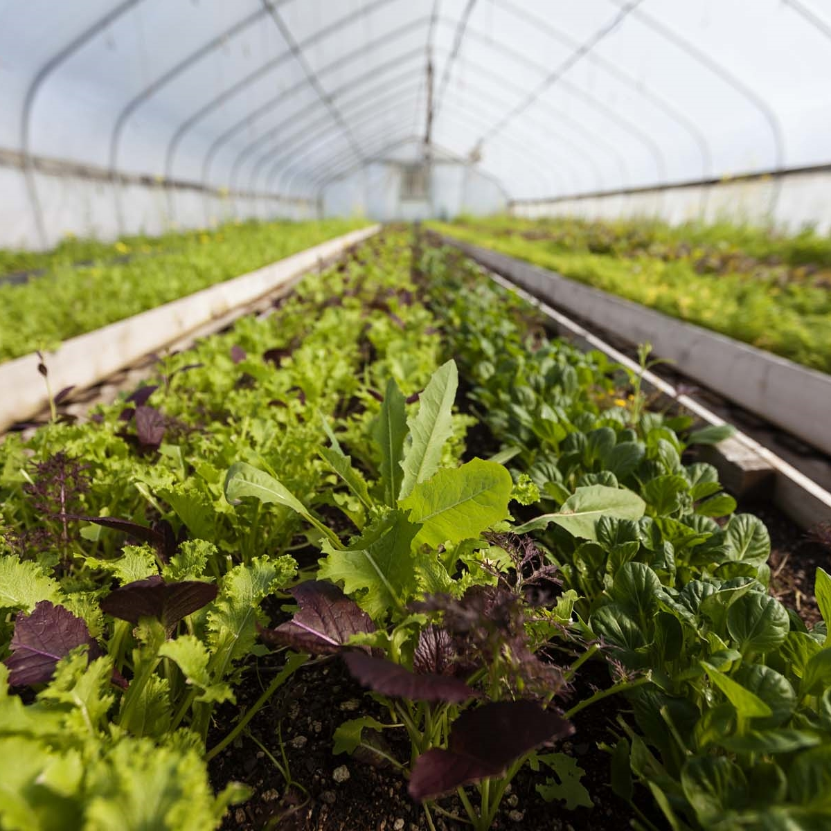 Fry Family Farm lettuce