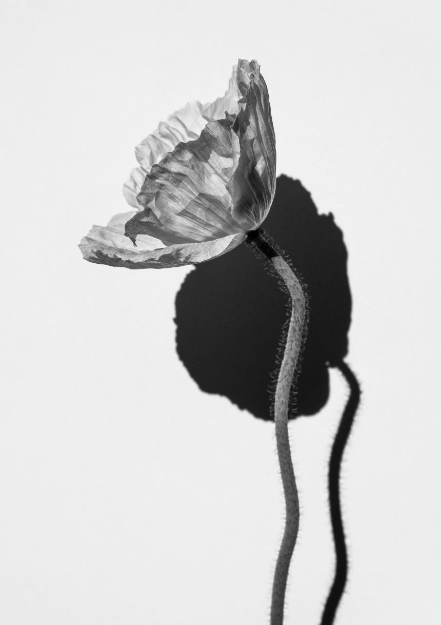 Poppies III