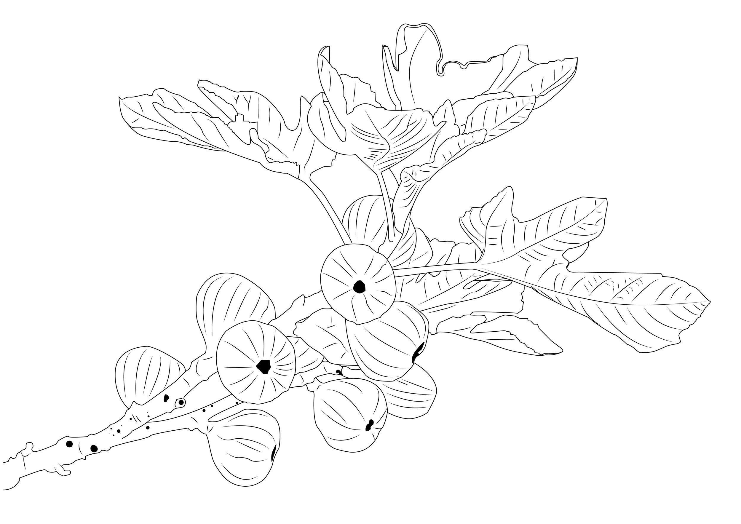 Fig tree 2-01.jpg