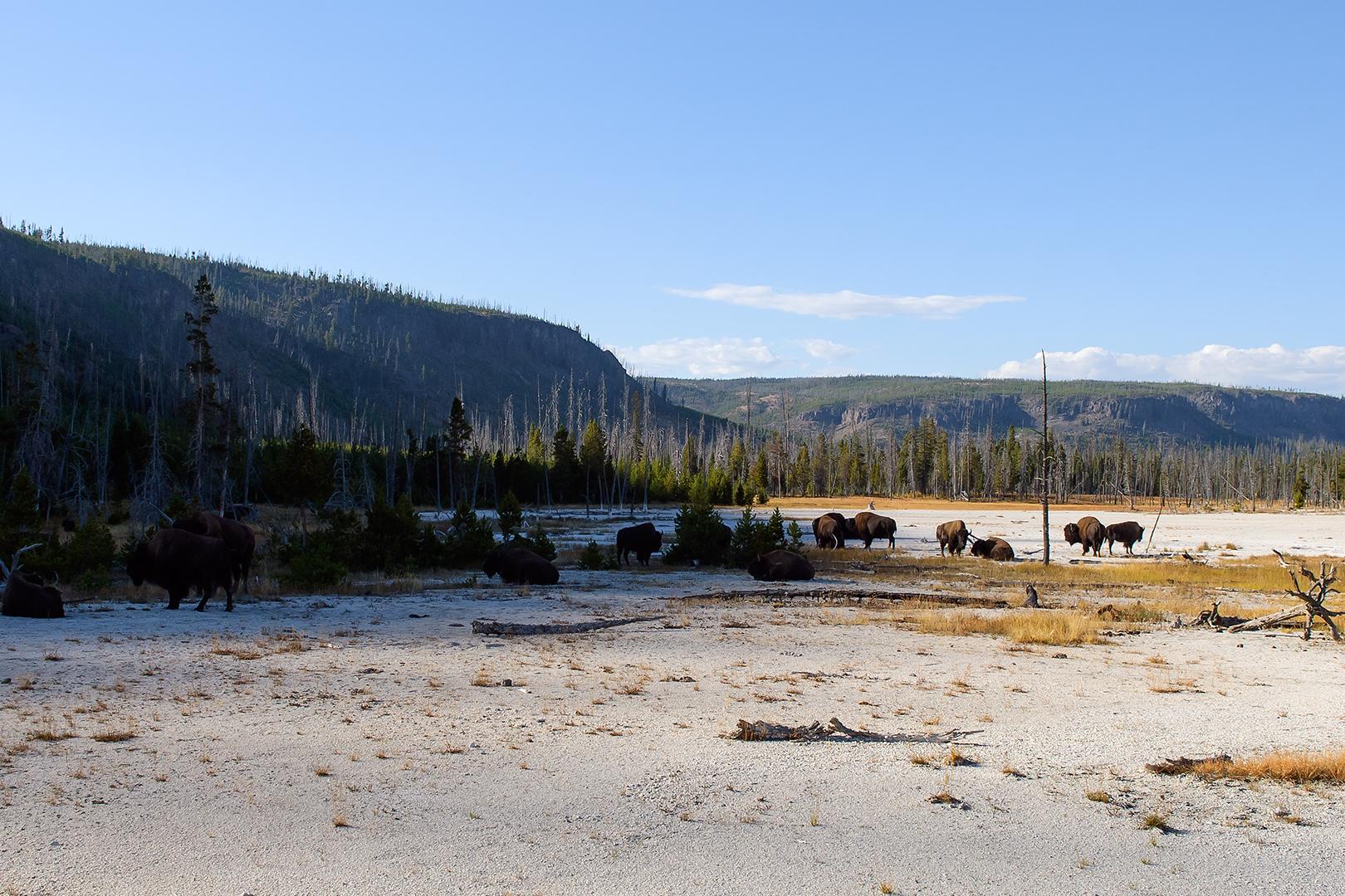 Bison, Black Sand Basin