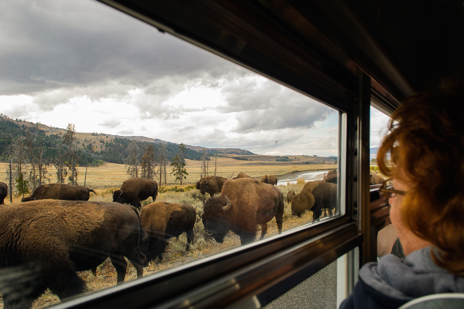 Bison on the Road, Lamar Valley