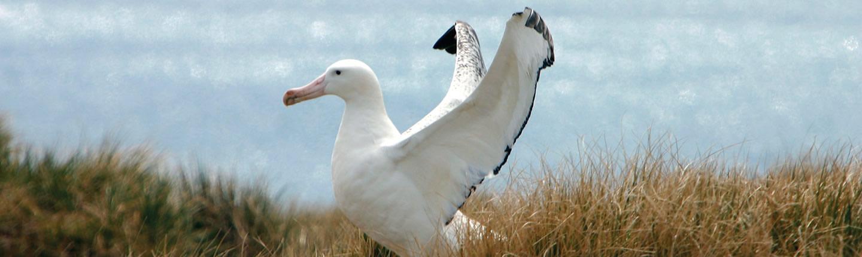 albatross royal albatross centre new zealand dunedin