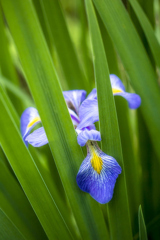 Shy Iris