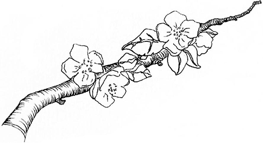 Apple blossoms final.jpg