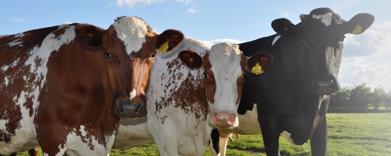 Acron Dairy Cows.jpg