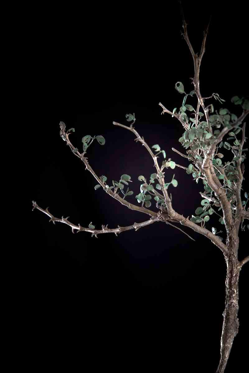 NicBladen_Botanicals_Black Thorn, Swarthaak, Mongana-202.jpg