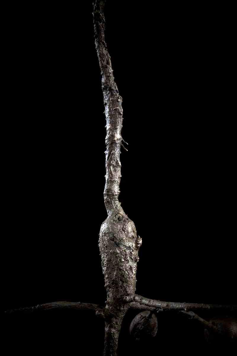 NicBladen_Botanicals_Devil's Thorn, Duiwelsklou, Sengaparile-076.jpg