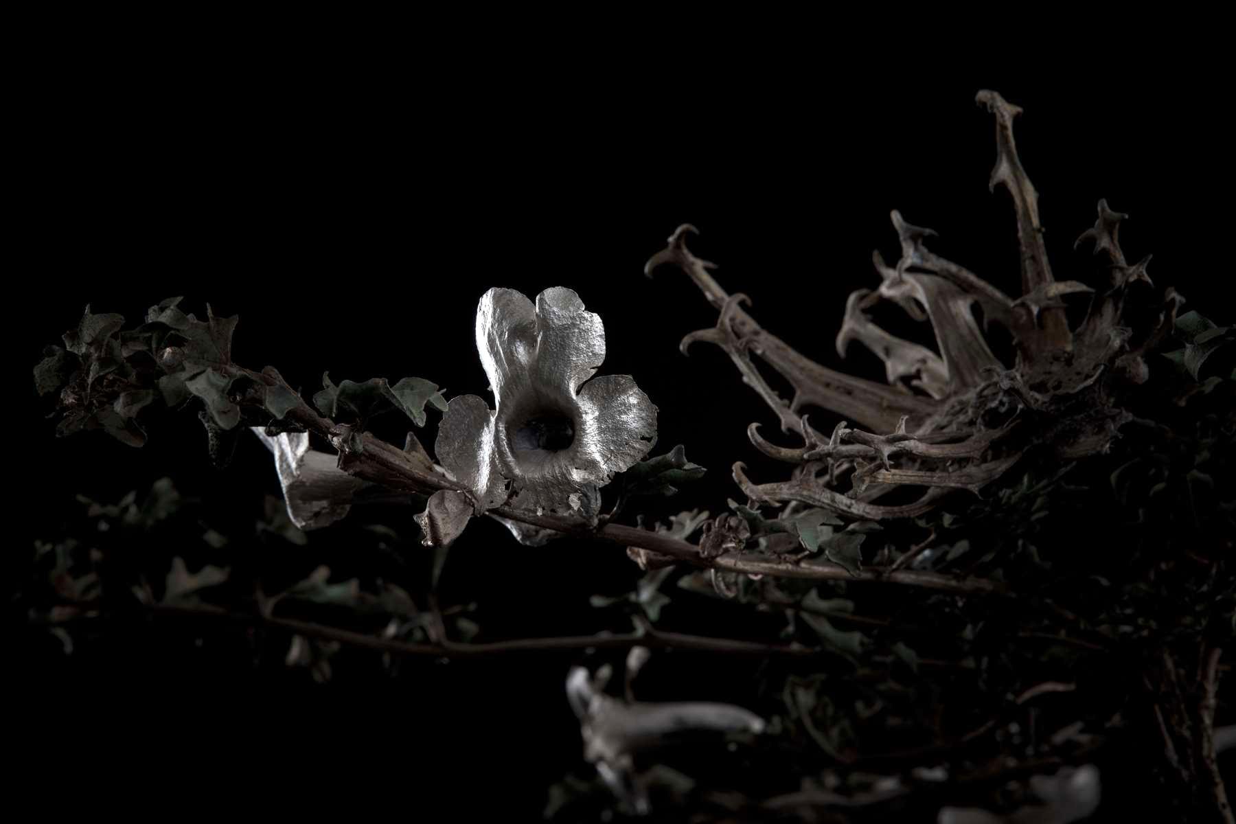 NicBladen_Botanicals_Devil's Thorn, Duiwelsklou, Sengaparile-075.jpg
