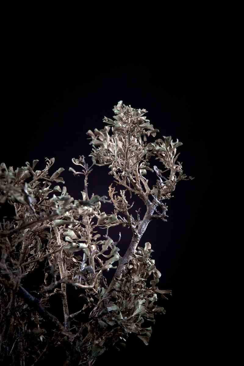 NicBladen_Botanicals_Karoo Kuni-bush, Kunibos, Mogodiri-128.jpg