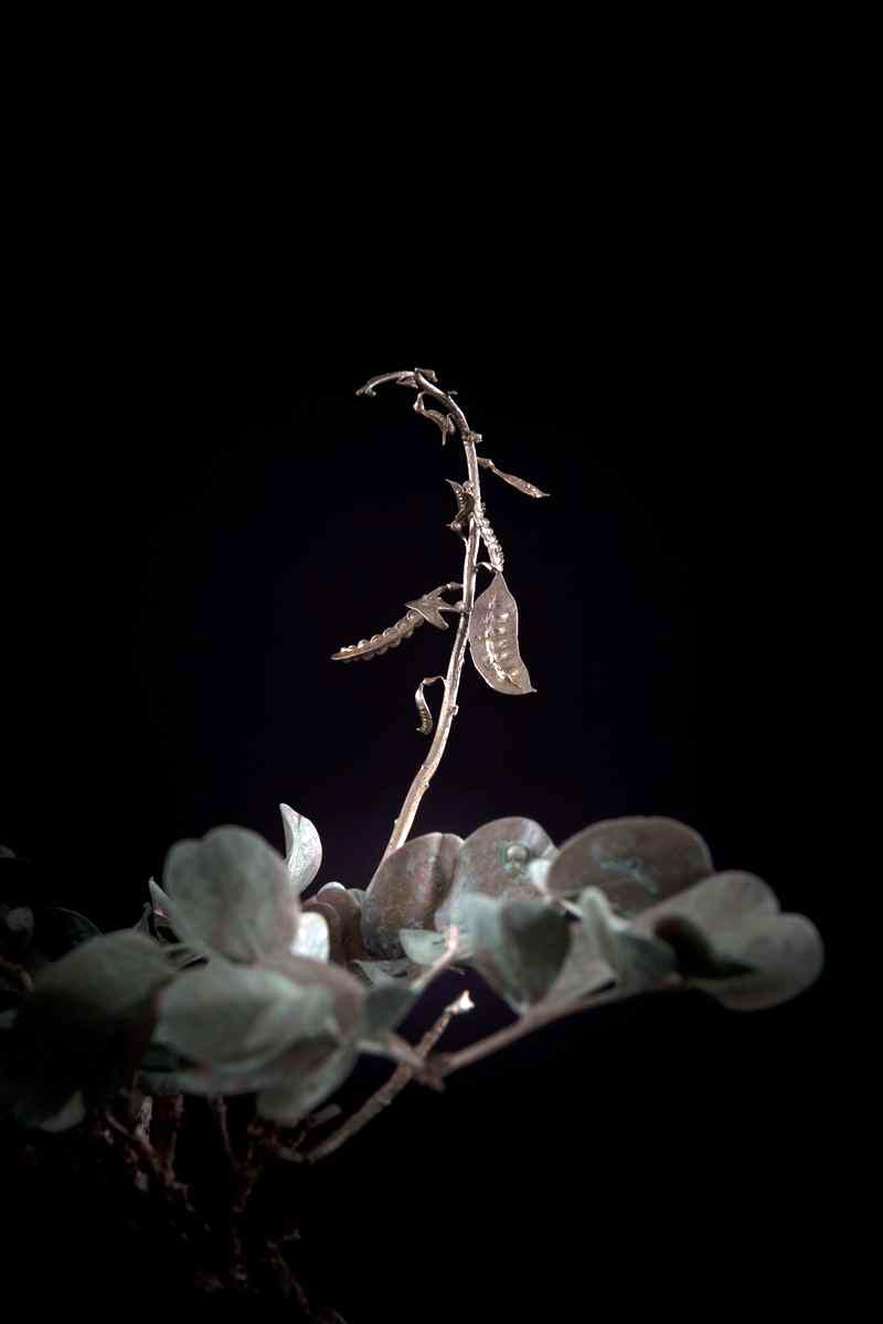 NicBladen_Botanicals_Wild Senna, Swartstorm, Sebete -240.jpg
