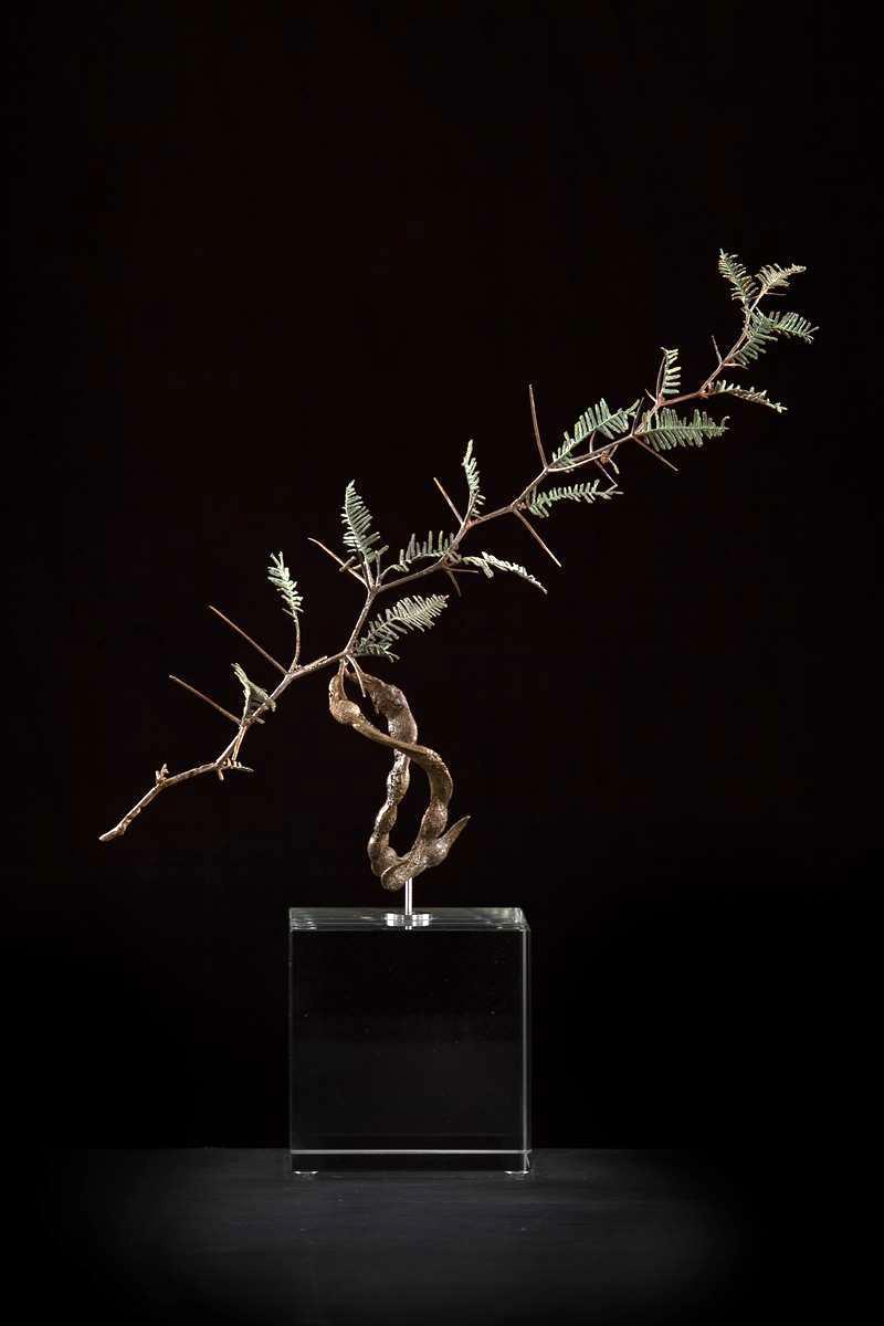<i>Acacia haemotoxylon</i>