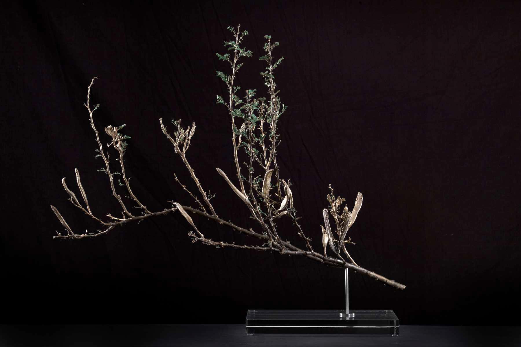 <i>Acacia hebeclada subsp. hebeclada </i>