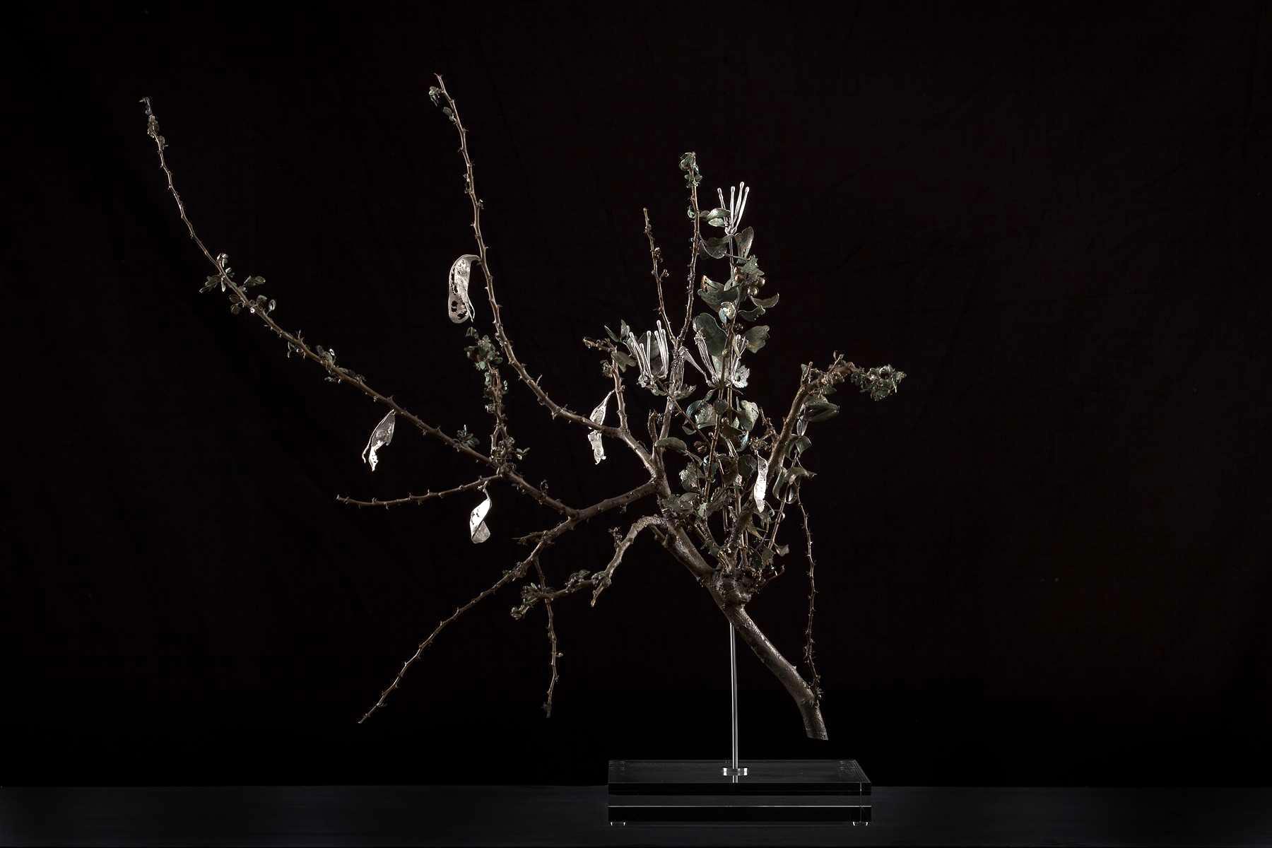 <i>Acacia mellifera subsp. detinens & Tapinanthus oleifolius </i>