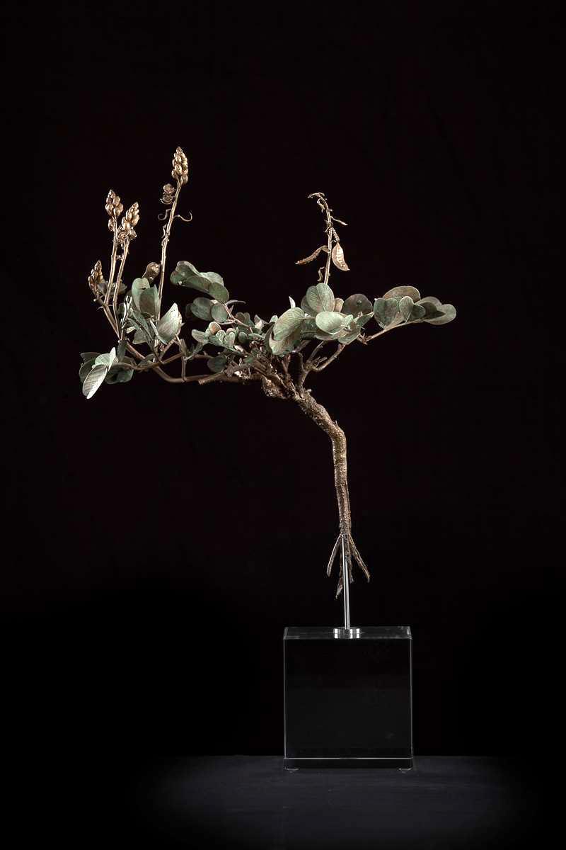 <i>Senna italica subsp. arachoides </i>