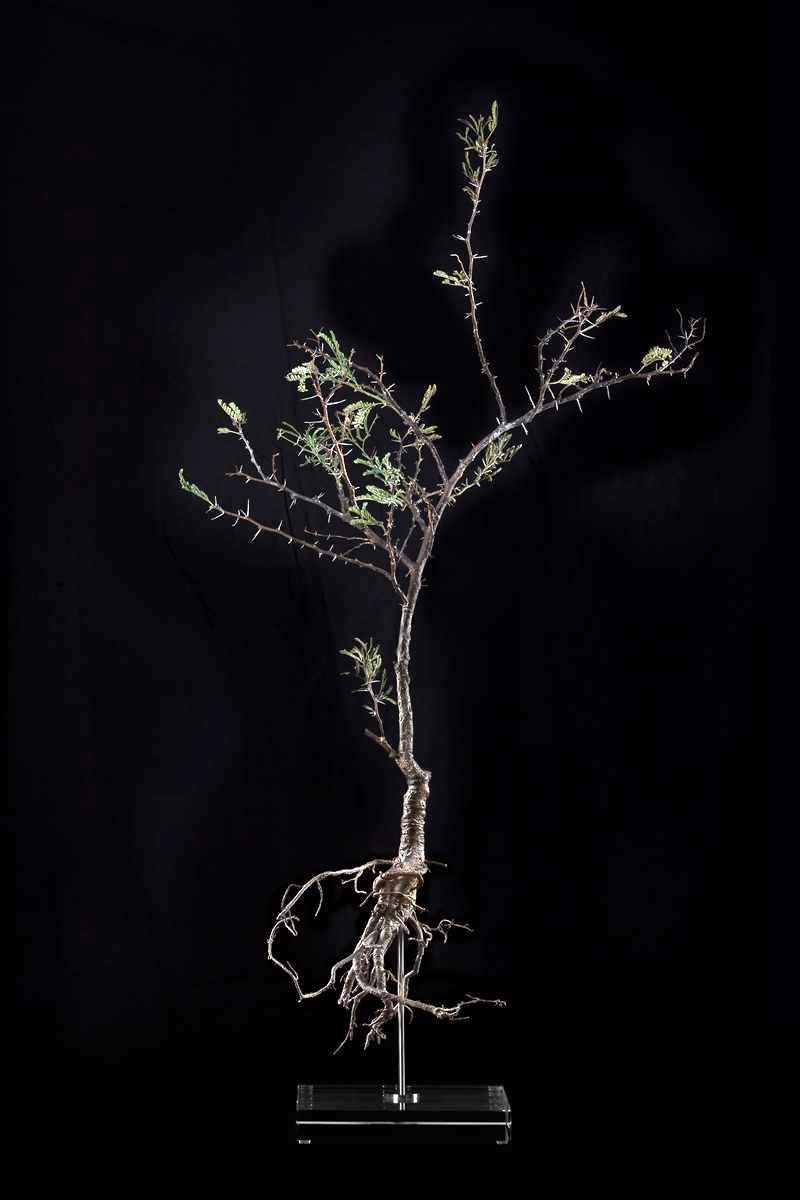 <i>Acacia karoo</i>