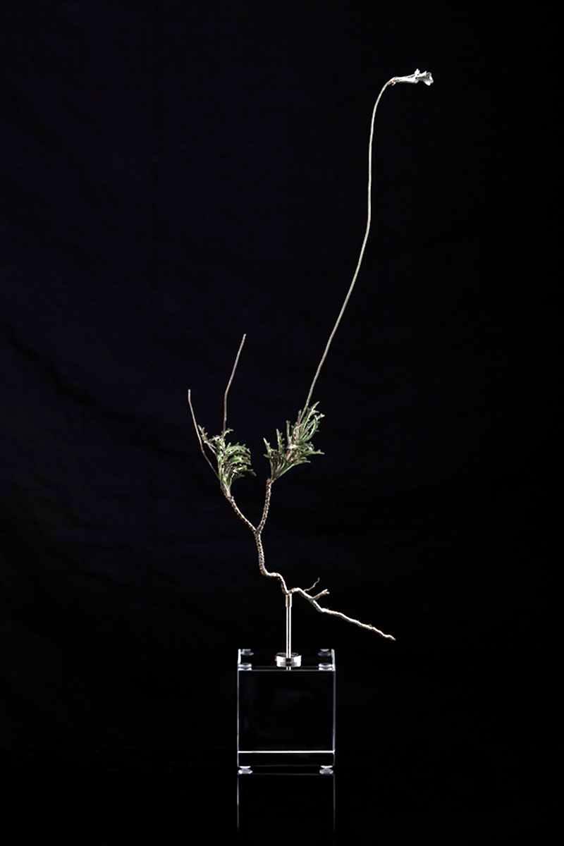 <i>Lobelia coronopifolia</i>