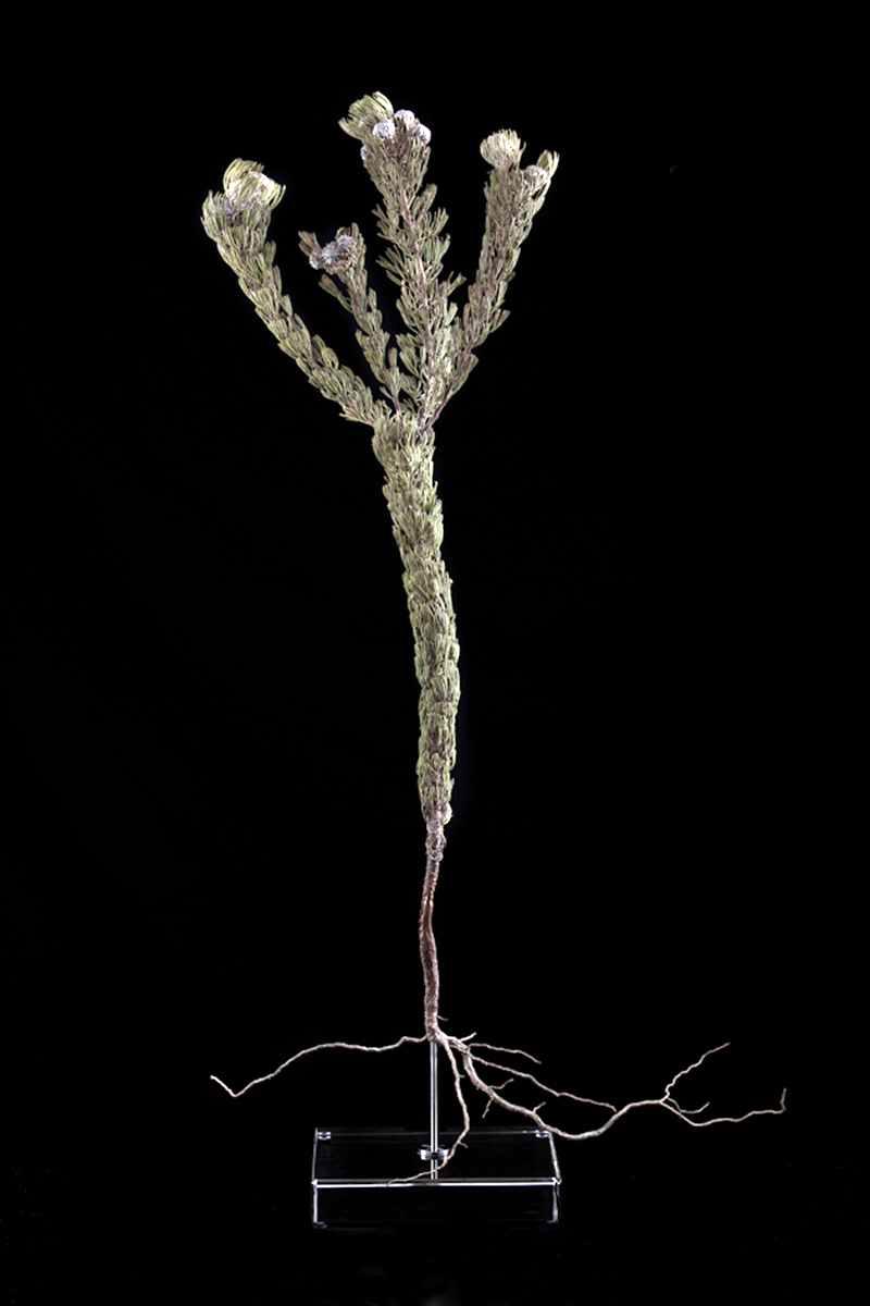 <i>Serruria villosa</i>