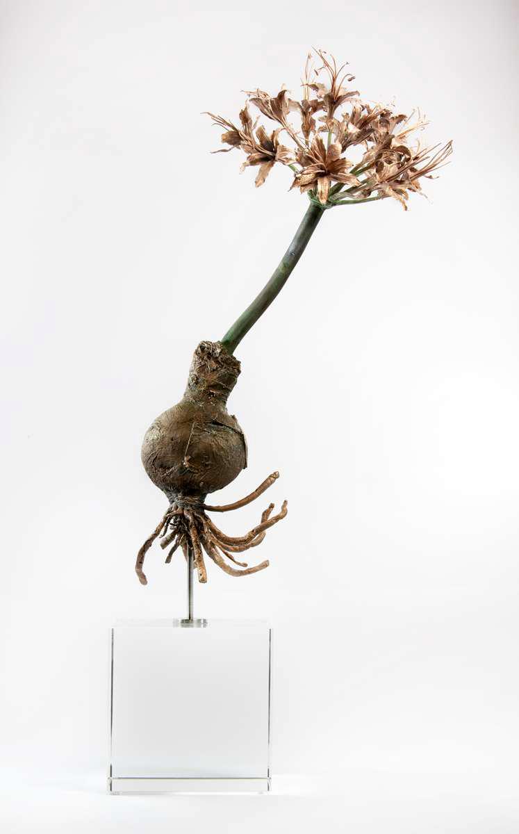 <i>Brunsvigia marginata  </i>