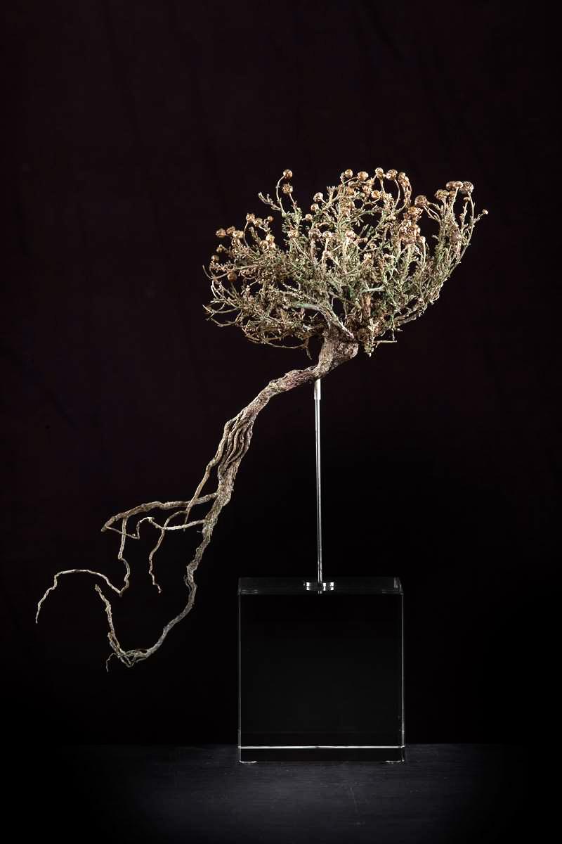 <i>Pentzia calceria </i>