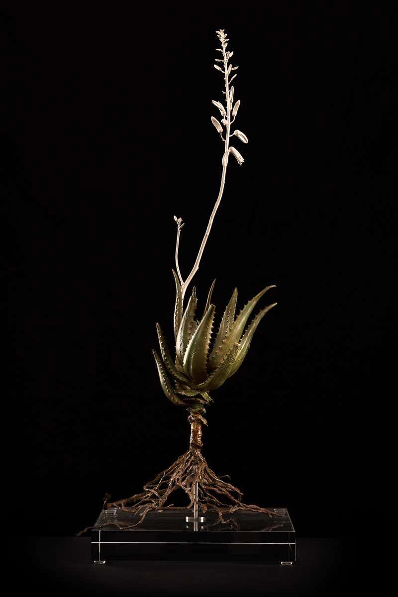 Aloe andongensis II.jpg