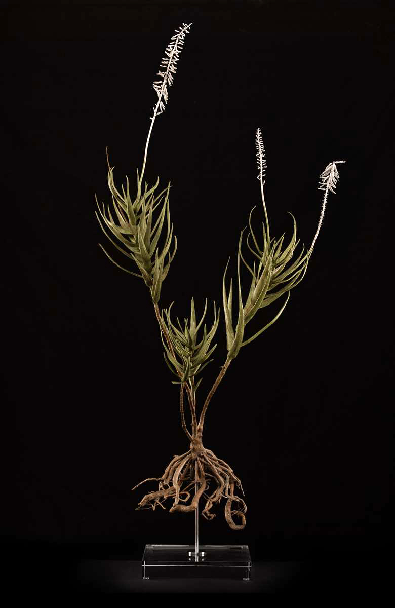 Aloe tenuior II.jpg