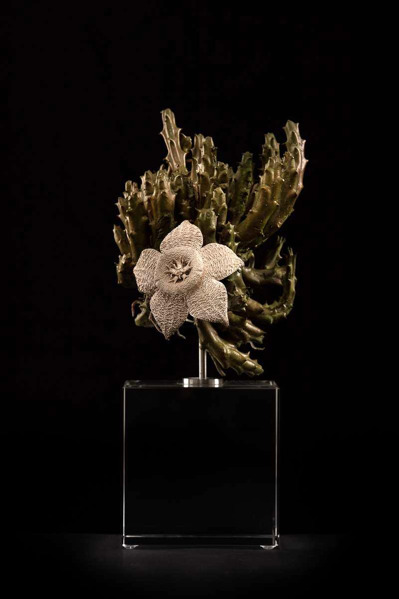 Orbea variegata II.jpg