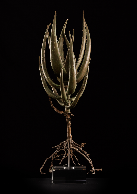 <i>Aloe castanea</i>