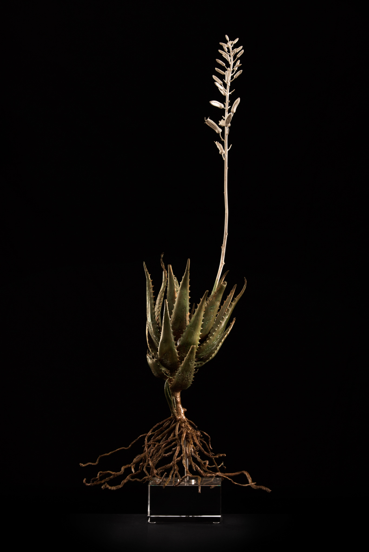 <i>Aloe andongensis I</i>