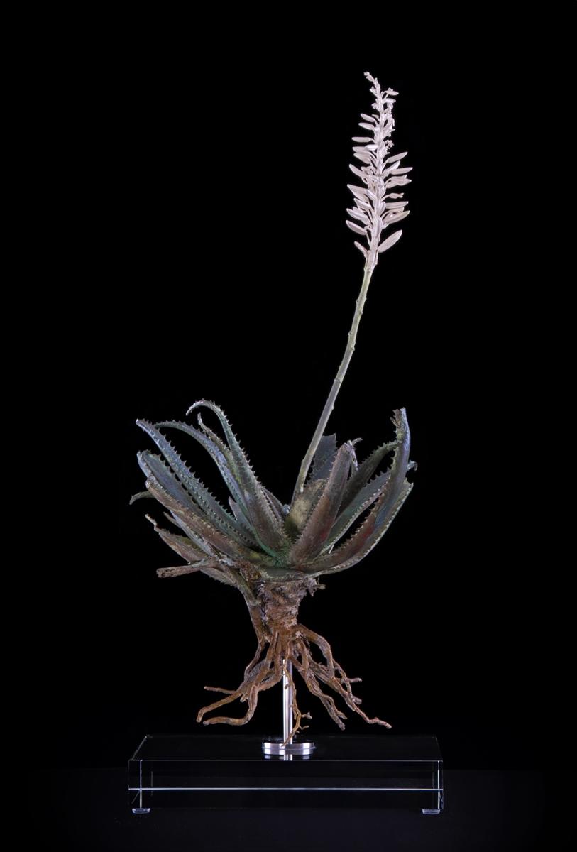 <i>Aloe succutrina X</i>
