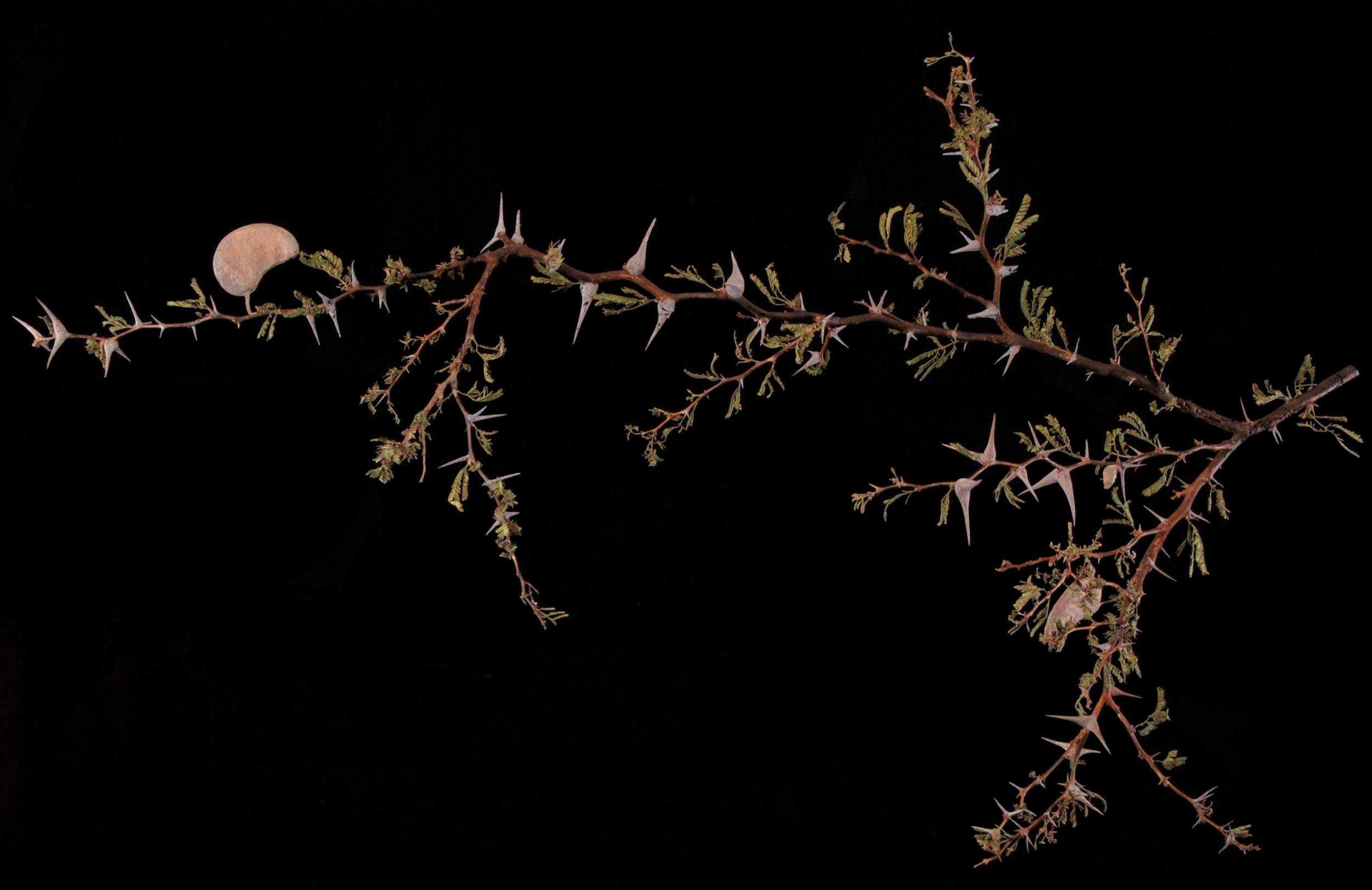 <i>Acacia erioloba</i>