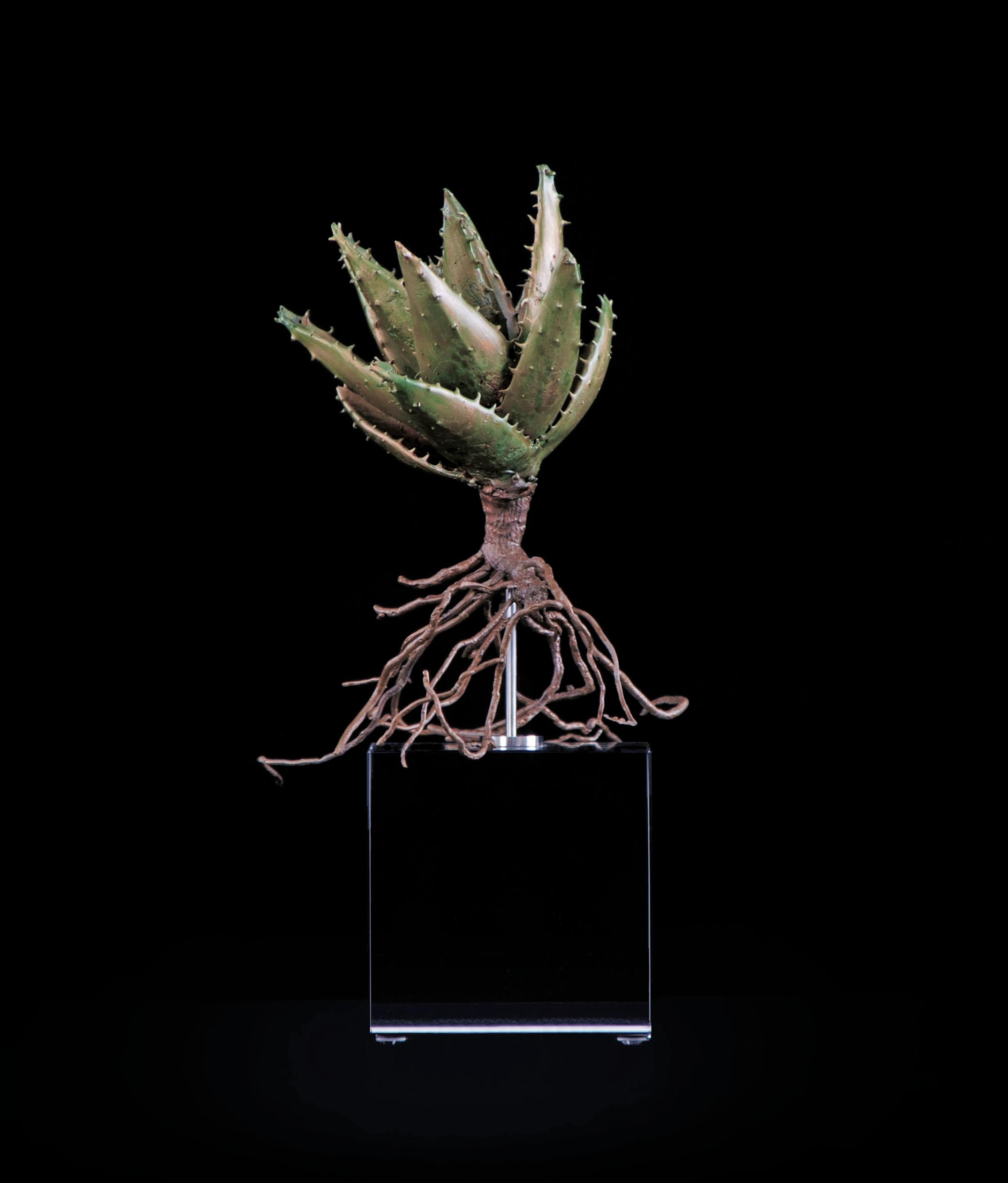 <i>Aloe africana</i>