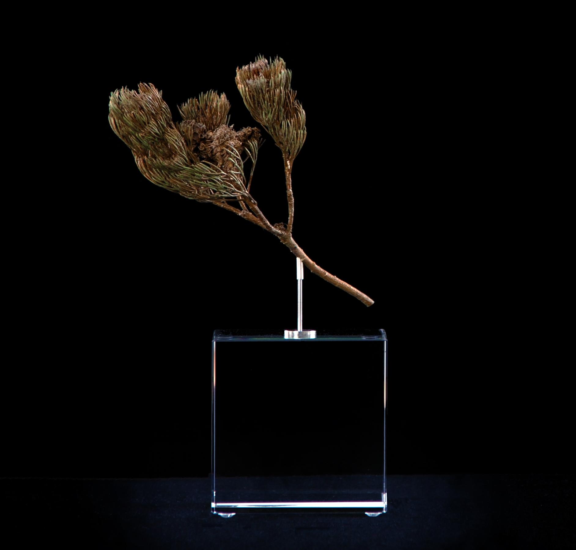 <i> Serruria villosa </i>