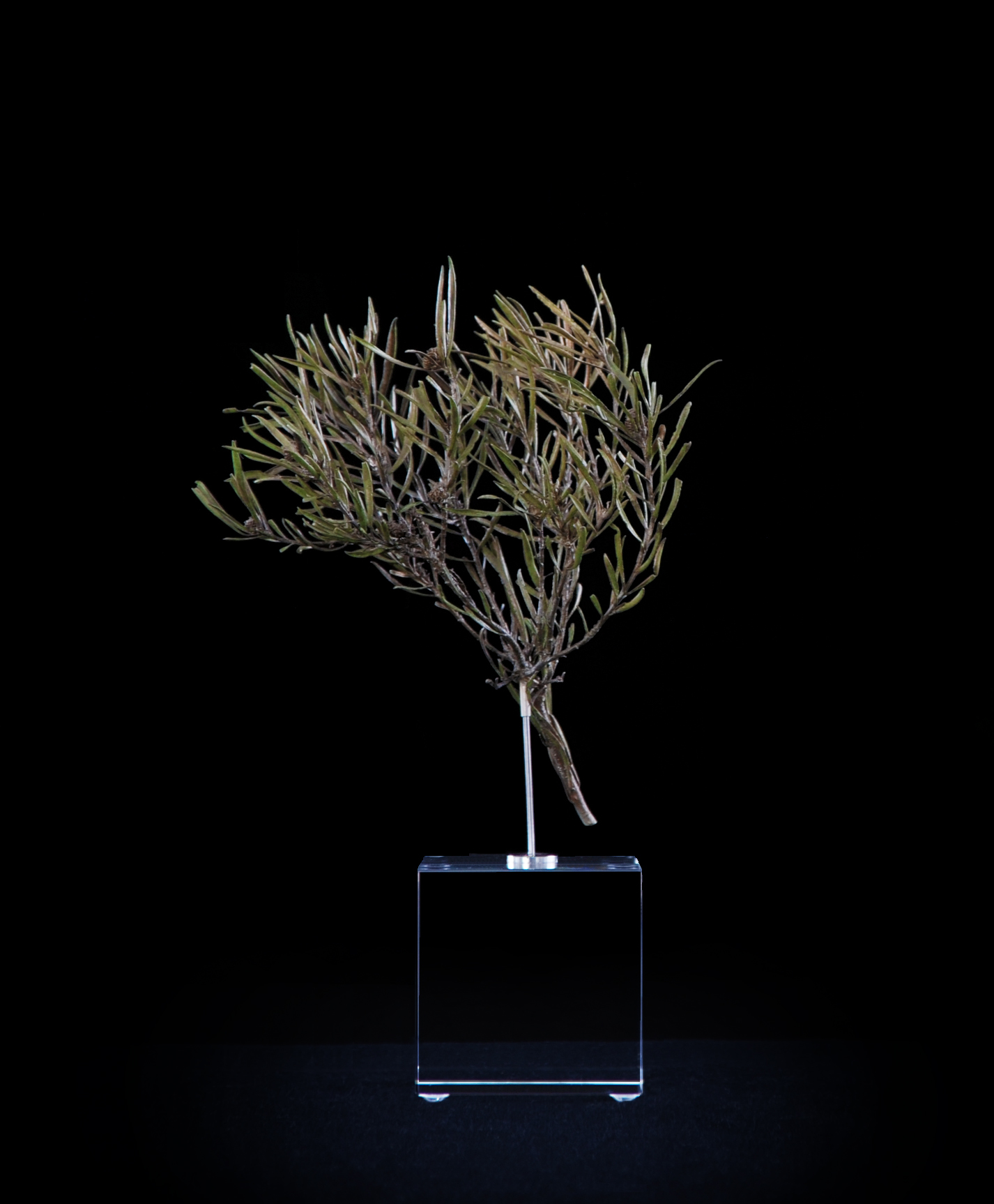 <i>Leucadendron salignum ♂ (male)</i>