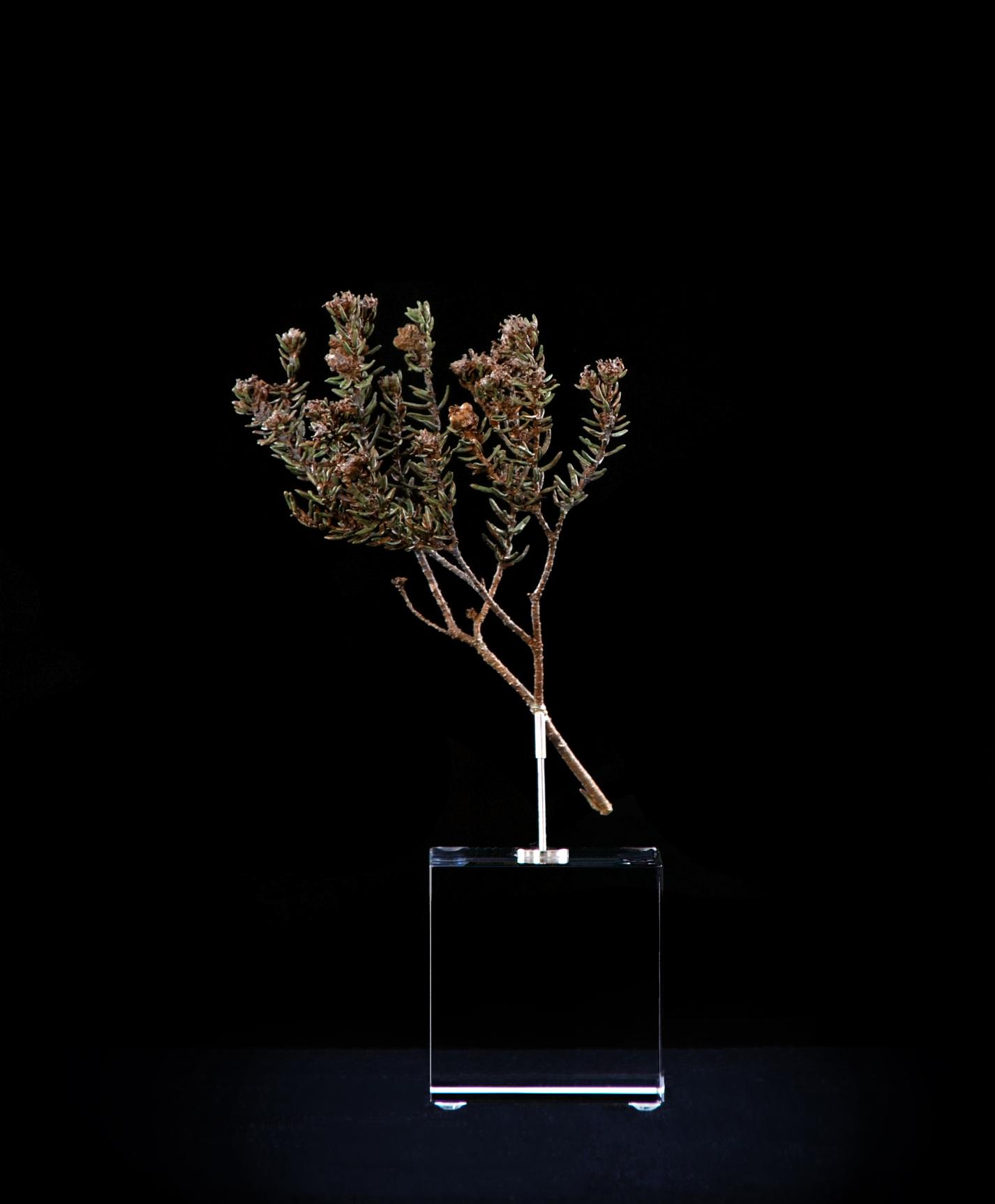 <i>Phylica ericoides</i>