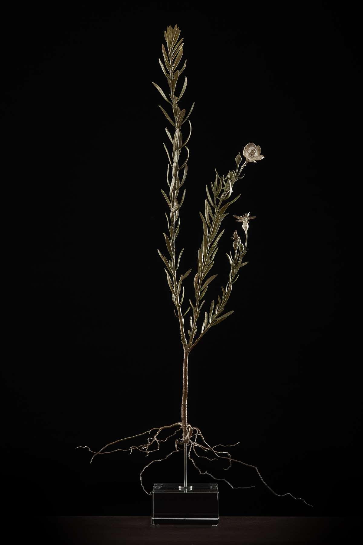 <i> Chironia tetragona</i>