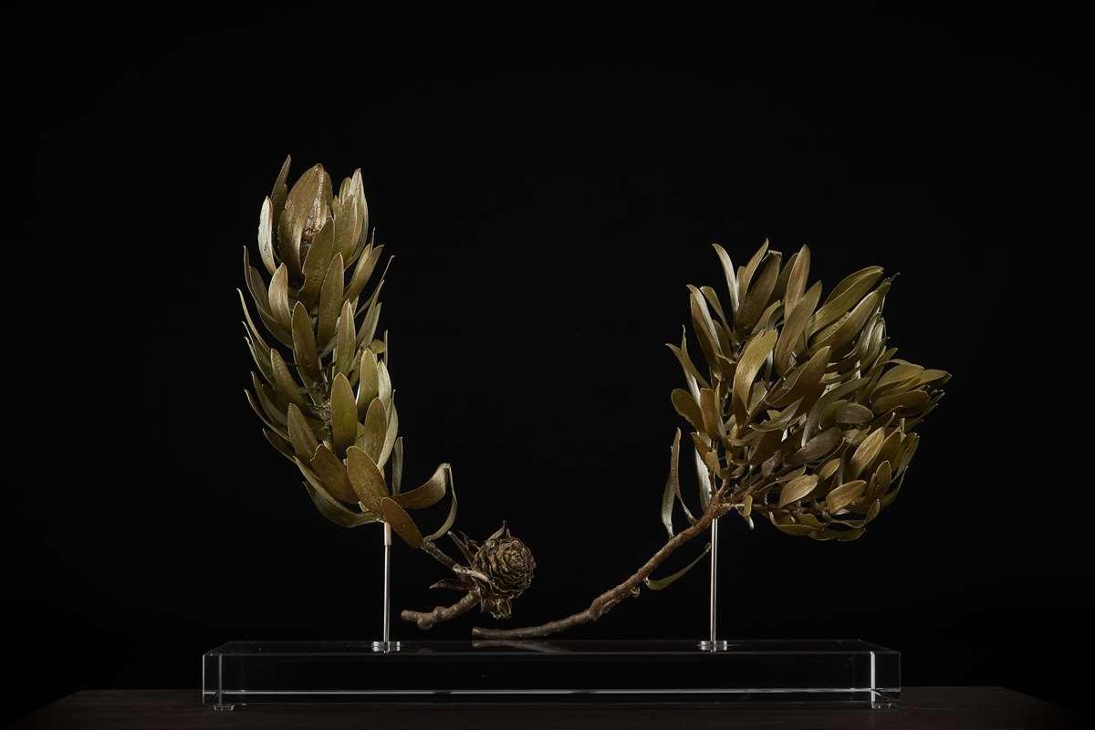 <i>Leucadendron laureolum ♂+♀ </i>