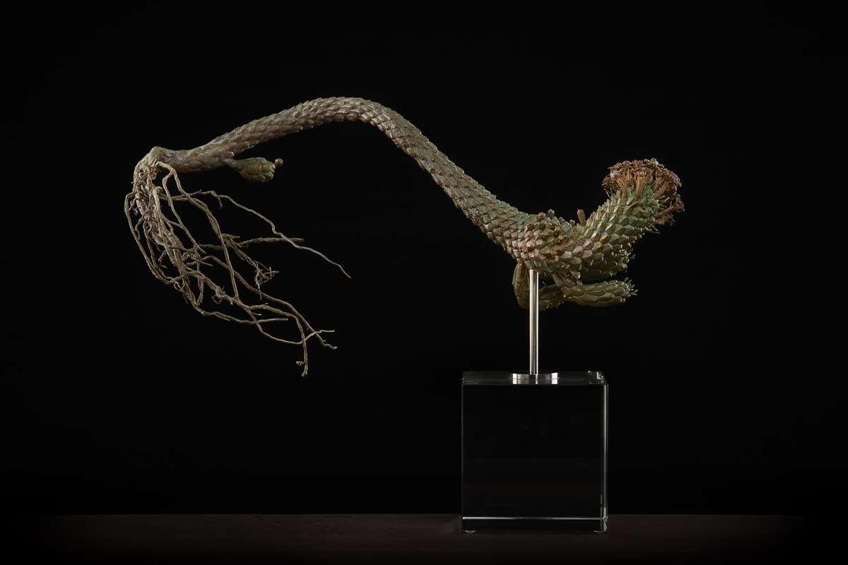 <i>Euphorbia caput-medusae </i>