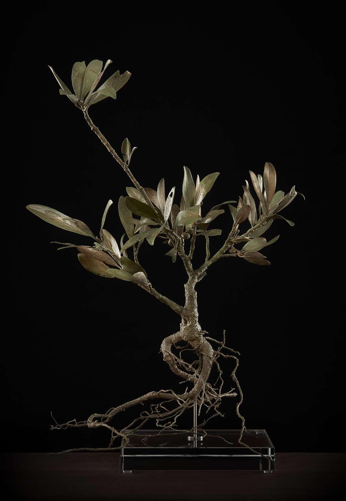 <i>Ficus cordata</i>