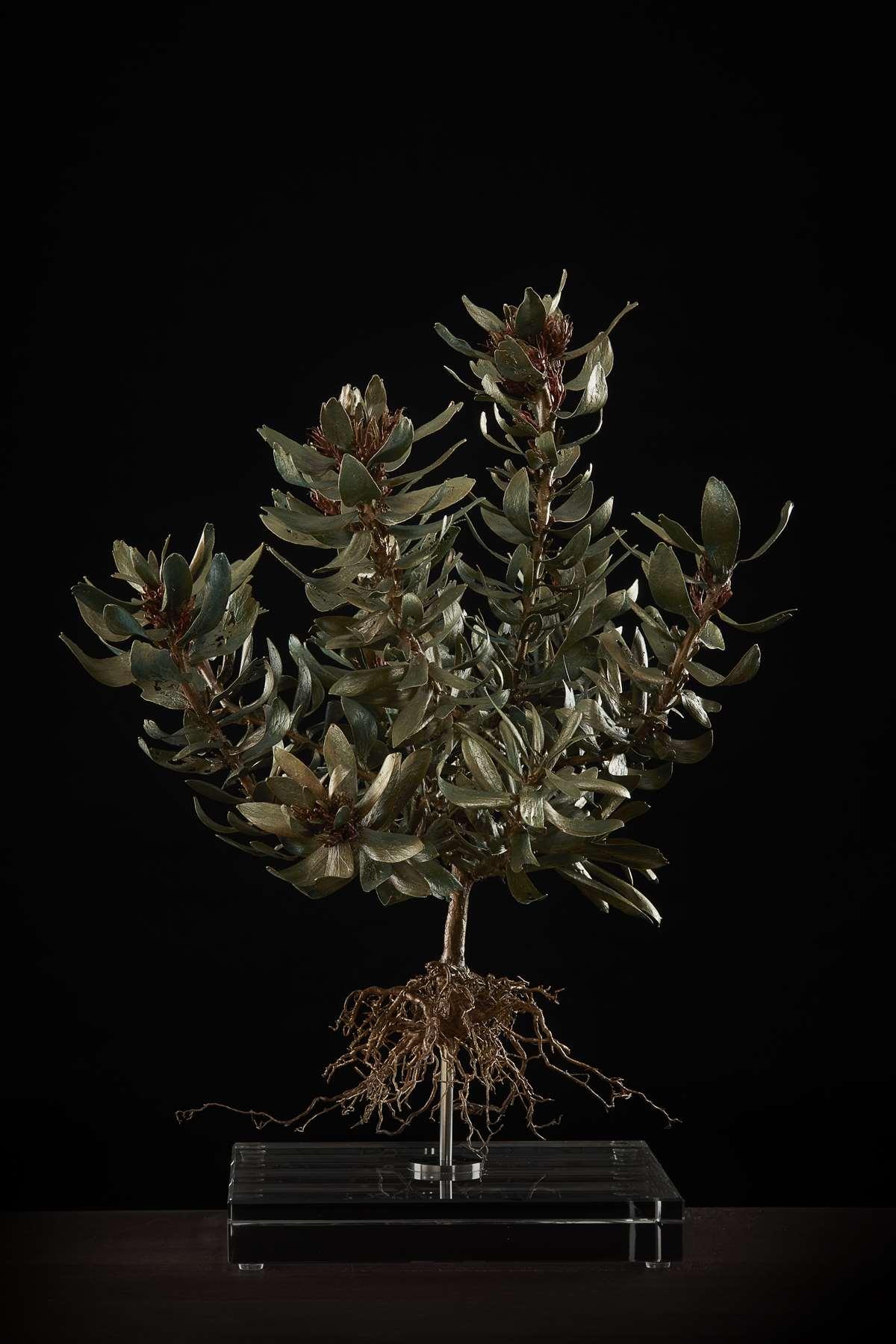 <i>Leucospermum oleifolium</i>